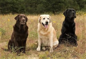 3 labrador retrievers (chocolate, yellow, and black) sitting outside lined up in a row