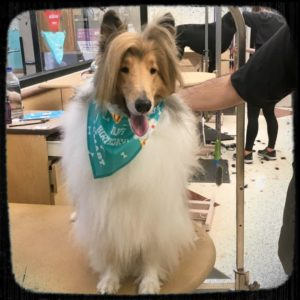 Cody after a grooming looking soft and silky