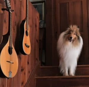 A very fluffy sable (tan) and white Rough Collie (longhaired Collie) stands on wooden stairs with guitars hanging on wood-paneled walls beside him