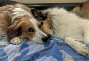 Freckles (a tan/red and white Australian Shepherd mix) and Yoshi lie snuggled on a bed together