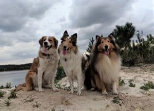 3 dogs, 1 Australian Shepherd mix and 2 Rough Collies, sit side by side framed by the setting sun in the clouds