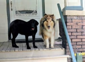 on the wooden porch of a house, a large black Labrador Retriever stands beside a large sable and white Rough Collie puppy