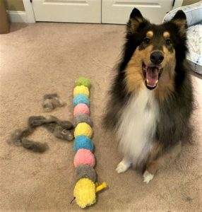A tricolor (black, white, and tan) Rough Collie poses beside his caterpillar toy and a pile of fur
