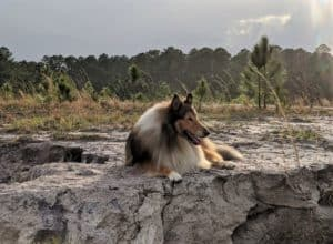 a dark mahogany sable and white Rough Collie with an impressive mane lies on the edge of a bluff