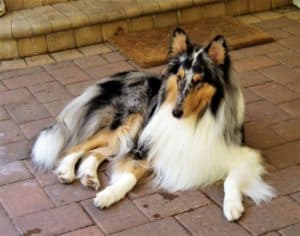 a blue merle Rough Collie (longhaired Collie with grey/blue/black/tan spots and white markings) lies outside regally