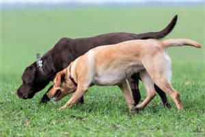2 dogs, a black Lab and a yellow Lab, walk with their noses to the ground