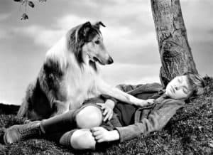 A young boy sleeps under a tree while Lassie, the sable and white Rough Collie of television fame, gently paws at his chest to wake him