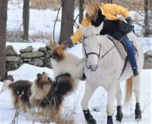 A woman rides a grey horse, while one mahogany (dark) sable and white Collie stands on his hind legs to greet the woman while another smiling Collie looks on