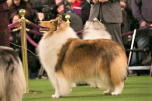 sable and white rough collie stands at attention in a ring at a dog show