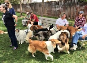 Several people sit and stand outside while a happy crowd of Collies congregate and get human attention