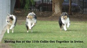 3 Collies, 1 tricolor and 2 blue merle, race side by side through a fenced-in green park