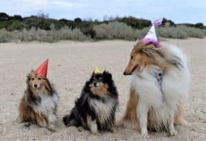 A sable and white Shetland Sheepdog and a tricolor (black, white, and tan) Shetland Sheepdog pose beside a much larger sable and white Rough Collie