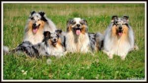 4 blue merle dogs lie in a green field: 2 Rough Collies, 1 Shetland Sheepdog, and 1 Australian Shepherd