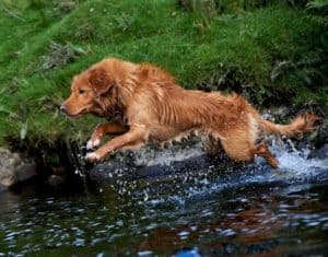 A red Toller with white paws leaps into a stream