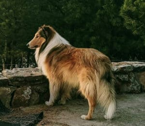 A sable and white (tan and white) rough-coated Collie stands outlined against a green forest background (uncropped version)