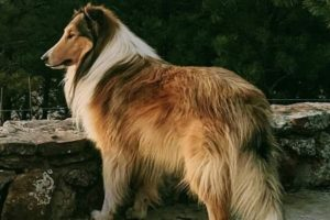 Where Are The Collies Our Grandparents Owned?