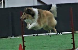 Titus leaps over an agility jump