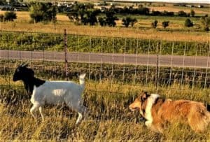 Titus herds a goat through a fenced pasture