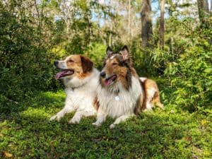 Freckles the Australian Shepherd mix and Yoshi the sable and white Rough Collie lie side by side in a sunny glade