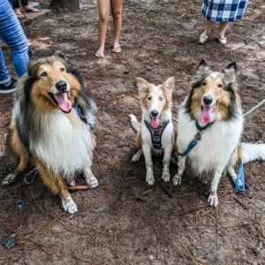 Three happy and dirty sable Collies sit side by side at a dog park, with the one in the middle being a blue-eyed puppy