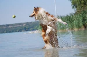 A sable and white Rough Collie (Lassie Dog) leaps out of the water after a tennis ball.