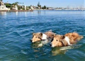 Two sable and white Rough Collies (Lassie dogs) swim through the San Diego Bay