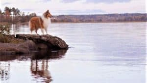 a sable and white Rough Collie stands on a peninsula of land overlooking a lake