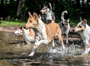 A sable and white Smooth Collie leads a pack of blue merle and sable Smooth Collies into a river