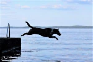 A smooth Collie leaps off a dock into the water. Color unclear, and appears as a dark silhouette with a white ring of fur around its neck