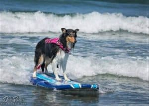 A tricolor Collie Rough stands on a surboard riding through waves with an intense look of concentration on her face