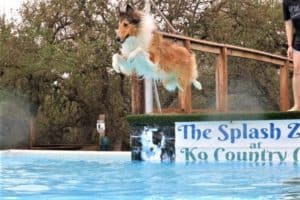 """A sable and white Rough Collie (Lassie dog) leaps from a dock into a pool, with a banner in the background that reads """"The Splash Zone at K9 Country Club"""""""