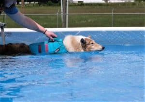 A sable merle rough collie in an aqua life vest swims a lap around a pool while a person holds onto the handle atop the vest to help her steer