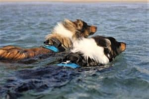 A sable and white Rough Collie and tricolor Rough Collie swim through the ocean side by side wearing matching teal vests