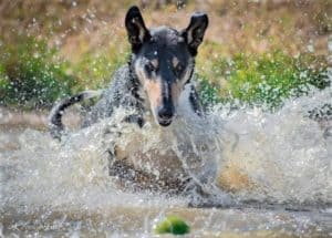 A tricolor Smooth Collie splashes through the water intent on retrieving a tennis ball