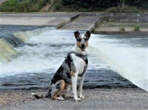 A blue merle Smooth Collie sits before a dam