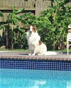 A sable-headed white Rough Collie sits beside an inground pool