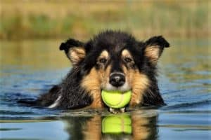 A furry tricolor Rough Collie swims while holding a tennis ball