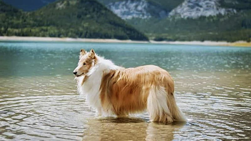 You are currently viewing Do Collies Like to Swim?