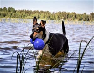 A tricolor (black with white and tan markings) Smooth Collie wades in a stream holding a blue ball in her mouth
