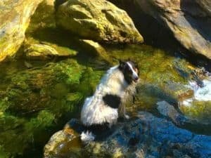 A tri-headed white Rough Collie (black head and black patches on white body) cools his lower body in a rocky pool