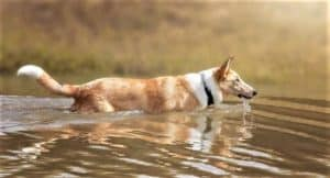 A sable merle Smooth Collie wades through water