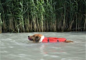 A sable and white Rough Collie wearing an orange life vest and holding a ball in her mouth swims in a creek lined by tall reeds