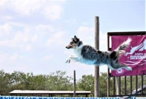 A blue merle Scottish Collie leaps into the water from a dock