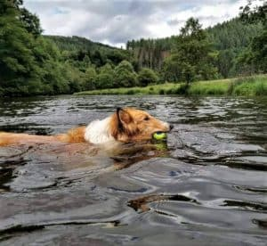 A sable and white Rough Collie (longhaired Collie) swims in a mountain crater lake with a ball in her mouth