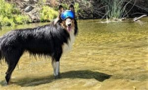 A tricolor Rough Collie wearing Rex Goggles (doggy eye protection sunglasses) stands in a shallow stream