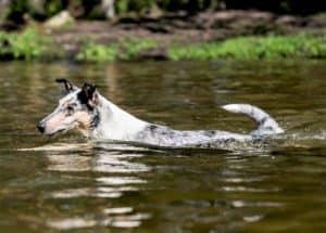 A blue merle Smooth Collie swims through a river