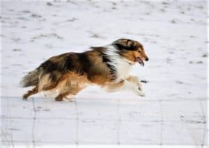 A mahogany sable and white Rough Collie leaps through snow with tongue lolling happily from his mouth