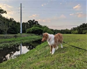 A sable merle Rough Collie puppy stands on a bank overlooking a deep stream with lily pads on its surface