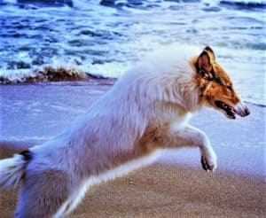 A sable-headed white Rough Collie puppy leaps on the dry part of the beach