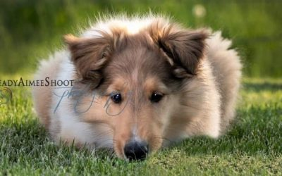 A sable and white (tan with white markings) Rough Collie puppy lies in the grass with head pillowed on front paws